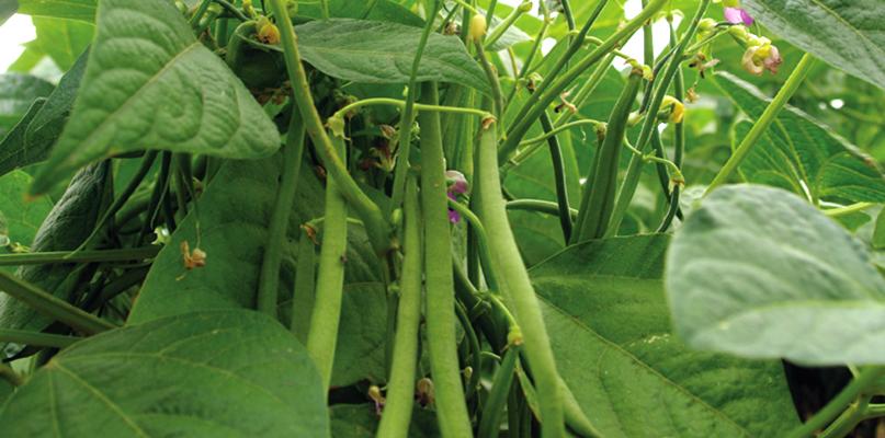 Haricots verts et haricots grains - Variete de haricot vert ...